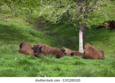 A family of American Bison resting together on a hillside of spring grass under an oak tree.