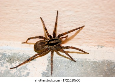 A family of araneomorphic spiders - a funnel spider crawls on a sunny summer day on a warm concrete floor near the wall. Insects. Arthropods - Shutterstock ID 1721020600