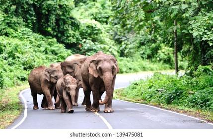 Family of Asian elephant in Khao Yai National Park,Thailand
