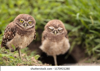 Family with Baby Burrowing owls Athene cunicularia perched outside a burrow