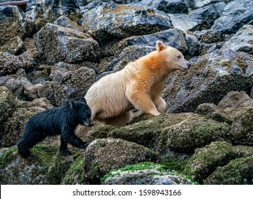 Family Barnacle Hunting - A Spirit Bear mother and her black bear cub climb in the rocks along the shore in search of Barnacles. Great Bear Rainforest, British Columbia, Canada.