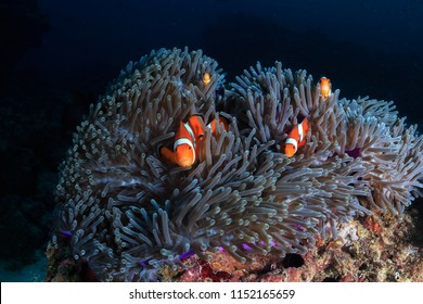 A family of beautiful False Clownfish in their host anemone on a tropical coral reef