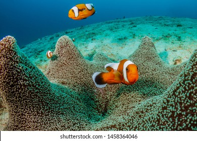 A family of beautiful Saddleback Clownfish (Amphiprion polymnus) in a carpet anemone on a coral reef in Asia