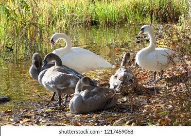 Family of beautiful white swans relaxing by the lake with young grey cygnets between reed plants