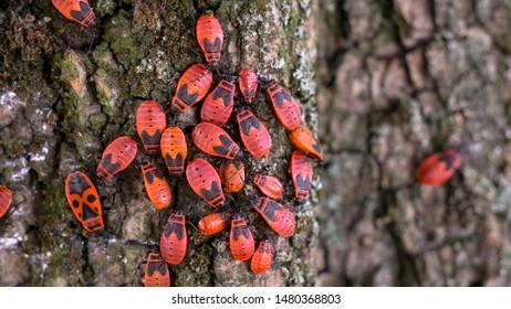Family of bedbugs-soldiers on the bark of a tree. Pyrrhocoris apterus, red-black beetles. Animals wildlife.