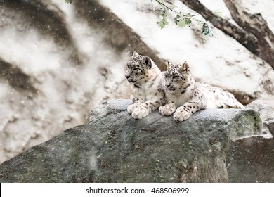 family of big cat, snow leopard - Irbis, Uncia uncia with snowy weather