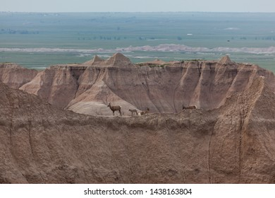 A family of bighorn sheep rest on top of a ridge of high mountain formations in Badlands National Park with the springtime green of the South Dakota prairie in the background.