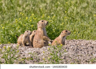 Family of  black-tailed prairie dogs are  around hole at the grasslands of Roberts Prairie Dog Town