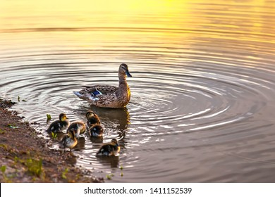 Family of brown ducks, mother with small children clean feathers on the river bank, circles on the water at sunset. Kashkadan Lake, Ufa, Bashkortostan, Russia. Kashkadan Lake, Ufa, Bashkortostan, Russ