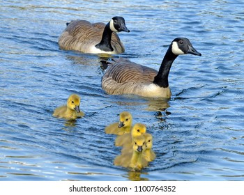 a family of canada gees with yellow fluffy goslings swimming in a blue lake