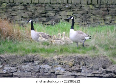 Family of Canada Geese, with goslings