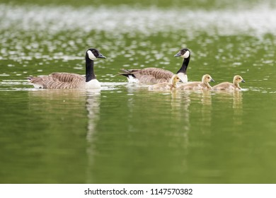 A family of canada geese swimming on a lake