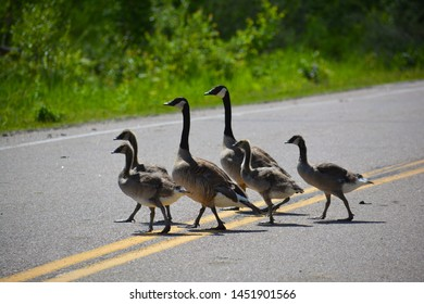 Family Of Canadian Geese Crossing Road