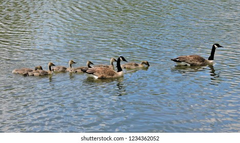 A family of Canadian geese is seen swimming in a lake with the parents guiding the goslings.