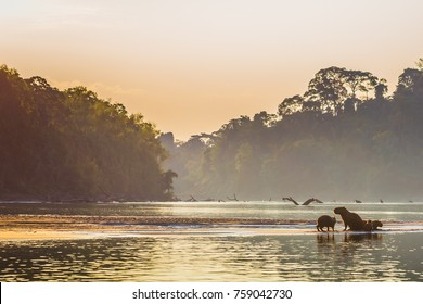 Family of Capybara at the shores of the Amazon rainforest in Manu National Park, Peru