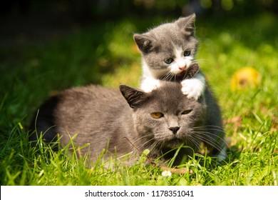 Family of cats outdoor. Cat with the baby kitten on grass. Cat hugs kitten. Cat plays kitten