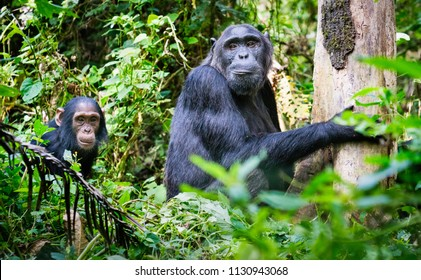 Family of chimpanzees from Kibale Forest Uganda