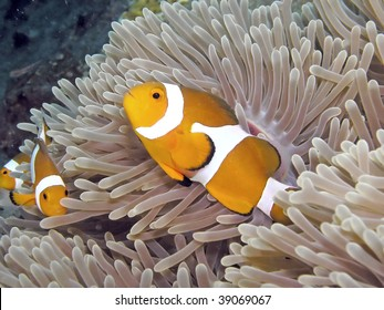 A family of clown anemonefish takes up residence among sea anemone