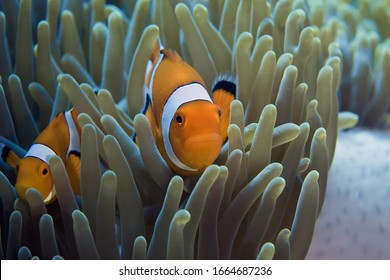 A family of clown fish swimming in an anemone. Underwater photography. Close up.