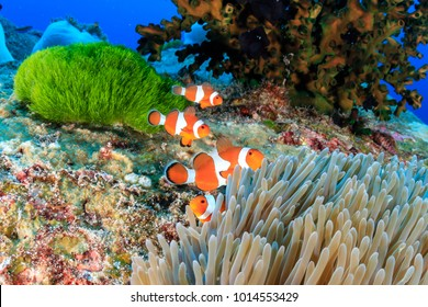 A family of Clownfish on a colorful, tropical coral reef