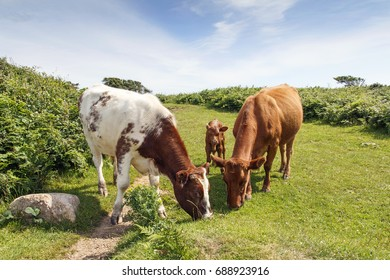 Family of Cows - Calf Grazing with Cow