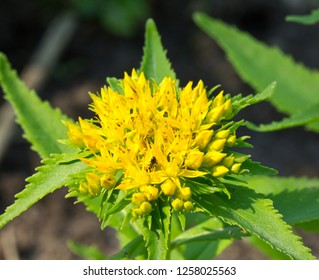 Family Crassulaceae. Rhodiola rosea is used as a tea to relieve fatigue, exhaustion, to improve performance and endurance.