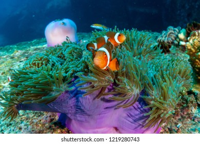 Family of cute Clownfish in a colorful anemone on a tropical coral reef