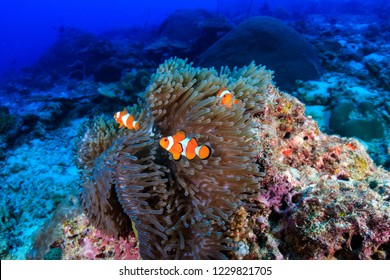 A family of cute False Clownfish in a colorful anemone on a tropical coral reef
