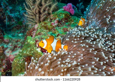 A family of cute False Clownfish in their home on a tropical coral reef