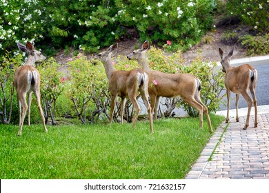 A family of deer eating rose bushes in suburban California garden