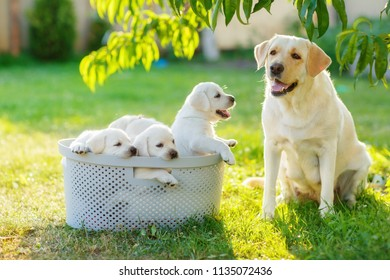 family dog mom and her children puppies are sitting in the basket