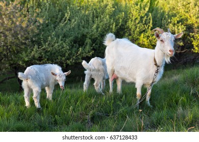 Family of domestic goats in a pasture spring orchard, Central Ukraine.