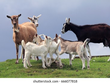 A family of domestic Goats standing on a grassy field on an overcast day