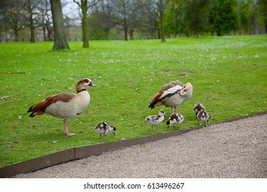 A family of ducks enjoying the day at Hyde Park in London, England.