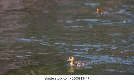 Family of ducks learn how to swim while the mother teaches her babies on the Lower Deschutes River in Oregon.