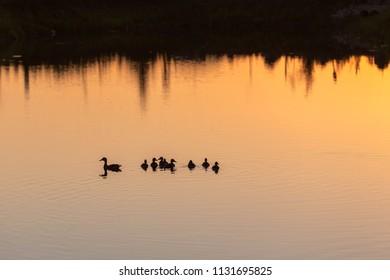 Family of ducks swiming in the water in sunset light