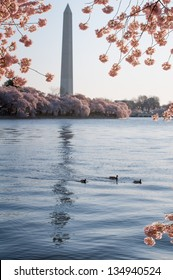 A family of ducks swimming in the Tidal Basin, framed by cherry blossoms with the Washington Monument in the background