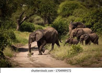Family elefants walking in safari at Tarangire National Park of Tanzania, full of vegetations in background
