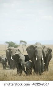 Family of elephant crossing the Masai Mara during the dry season