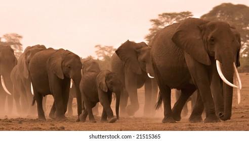 family of elephants in amboseli, Kenya