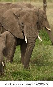 Family of elephants - the largest land animals.