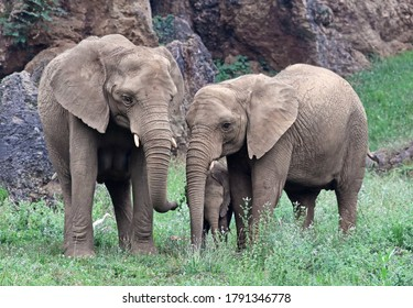 Family of elephants (Loxodonta africana) eating on a grass field. Beutiful animal family scenery with adults and a newborn infant elephant. The african elephant is the largest endangered mammal.