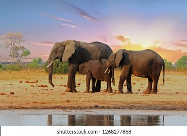 Family of Elephants with a nice sunset sky.  Elephan Calf is suckling from it's Mum. Hwange National Park, Zimbabwe