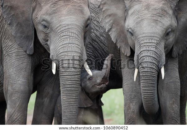 Family elephants with very small young elephant