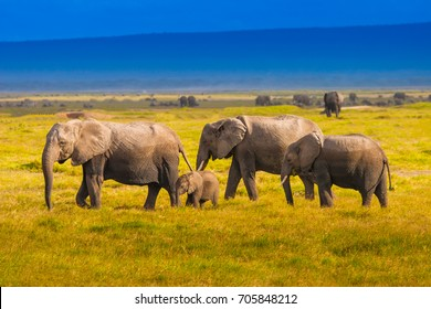 A family of elephants are walking along the grass. Family of African elephants. Kenya.
