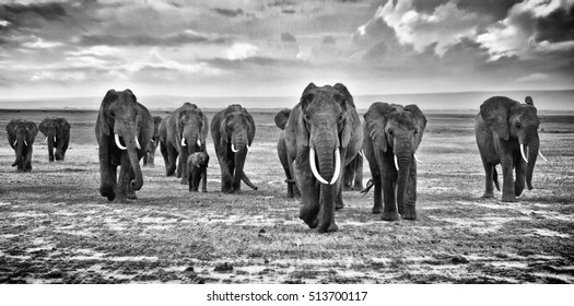 Family of elephants walking group on the African savannah at photographer, Kenya
