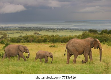 Family of elephants walking through the savanna, Masai Mara, Kenya