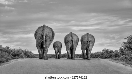 A family of Elephants wanders down a road at the end of the day