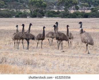 Family of emus on a farm in Australia