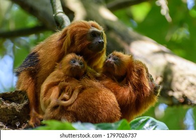 Family of endangered species Golden Lion tamarin, or Mico-Leão-Dourado,(Leontopithecus rosalia), small furry orange primate, two adults with two infants bundled together.